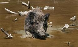 החזירים של צומת בית-עובד